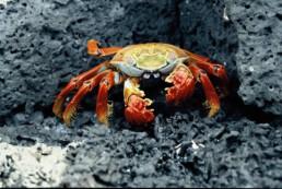 crab-galapagos-1993